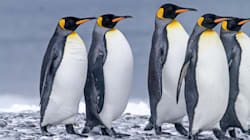 World's Largest King Penguin Colony Has Mysteriously Shrunk By 90