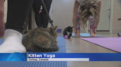 N.L. Kitten Yoga Class Wants Students To 'Be In The