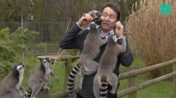 Ces lémuriens aiment un peu trop ce reporter de la