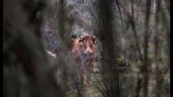 Envoyée à l'abattoir, cette vache s'échappe, se cache dans la forêt et devient une