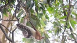 Vous ne pourrez plus dormir après avoir vu ce python qui dévore un