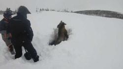 Coincé sous un monceau de neige, cet orignal a été déterré par des