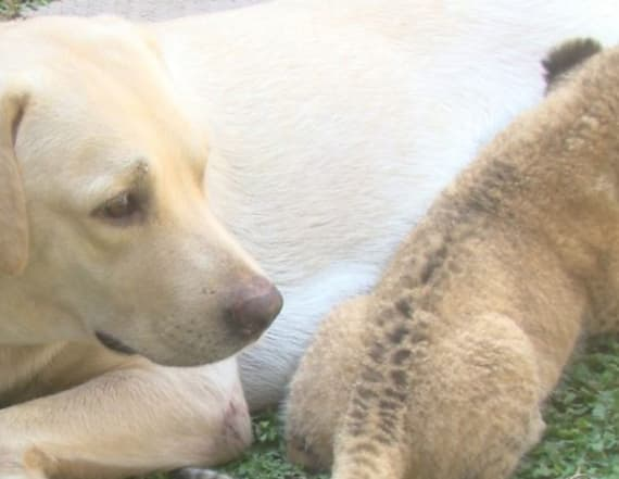 Lion cub raised by dog after cub's mother rejects it