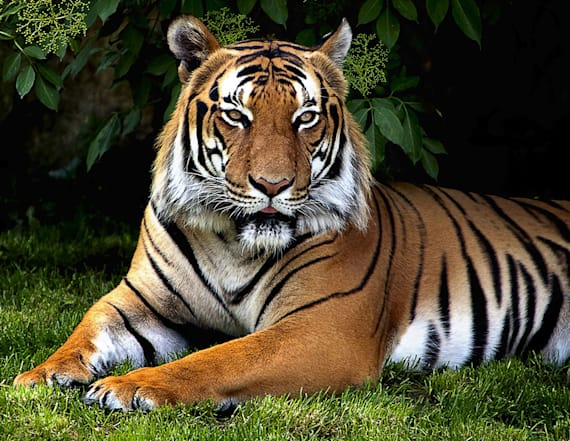 Zookeeper attacked by tiger is out of intensive care
