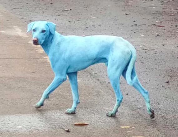 Dogs in Mumbai are turning blue for alarming reason