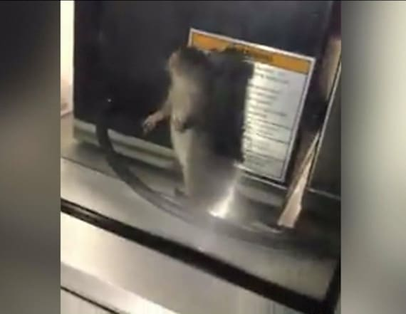 Video shows rat running around counter of restaurant