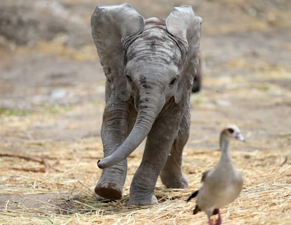 Rare baby elephant delights Mexican zoo