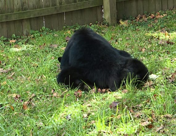 Video shows bear roaming neighborhood streets