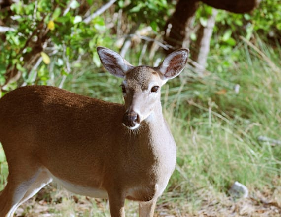 A fatal disease is spreading among deer in the US