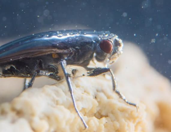 Scientists solve scuba-diving fly mystery