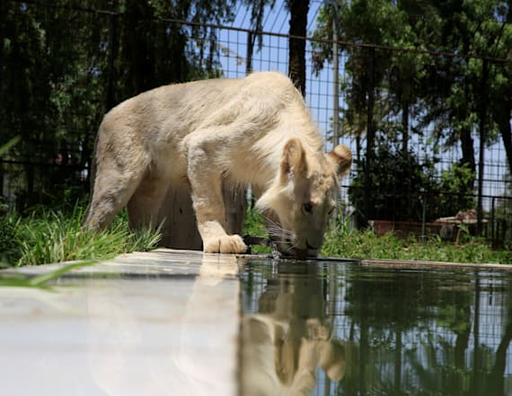 Iraqi zoo shows off rare white lion cub