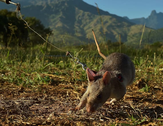 Hero rats of Africa are helping to save lives