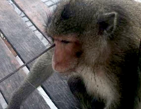 Monkey survives getting shot in face with arrow