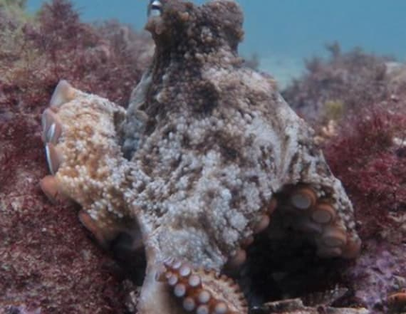 Biologists discover underwater octopus city
