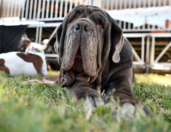 Neapolitan Mastiff is crowned 'World's Ugliest Dog'
