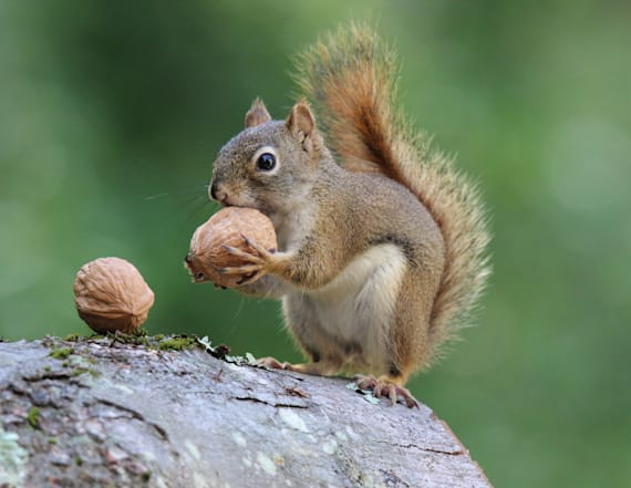 Study draws link between squirrel and stroke victims