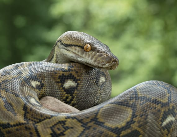 3-year-old rides 20-foot python in viral footage