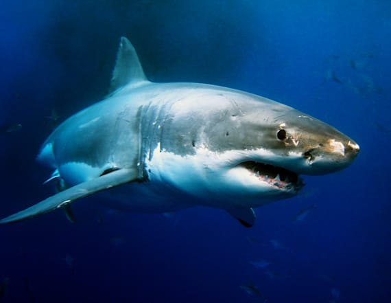 Repellent bands invented to keep sharks at bay
