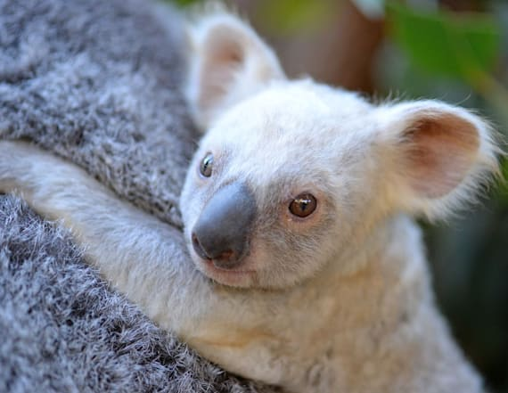 Rare baby white koala looks for a name on Facebook