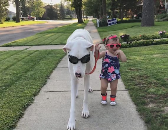 Deaf Great Dane and toddler are the best of friends