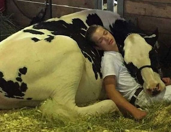 State fair cow and boy taking nap wins the internet