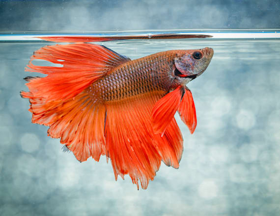 Man sentenced to jail after killing betta fish