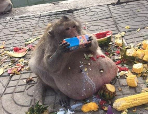 Obese monkey named 'Uncle Fat' goes on a diet