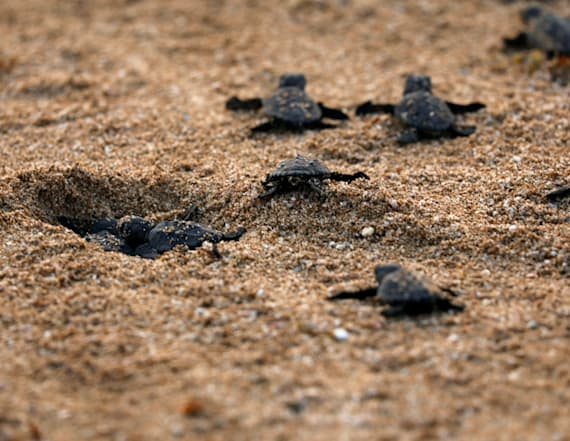 Conservationists strive to protect sea turtles