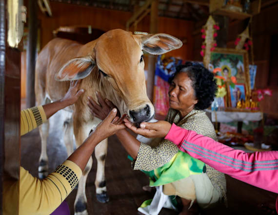 Cambodia widow sees dead husband in young cow