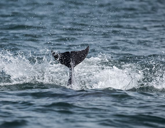 Speckled dolphin spotted off the coast of California
