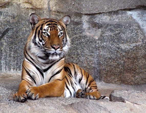 Zookeeper dies after being attacked by tiger