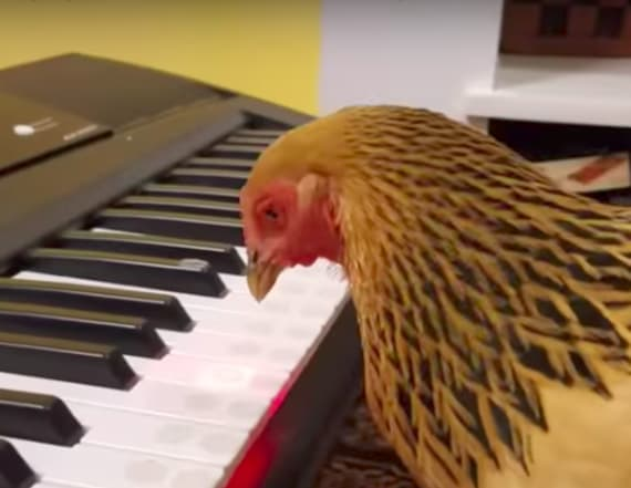 Chicken plays 'America the Beautiful' on piano