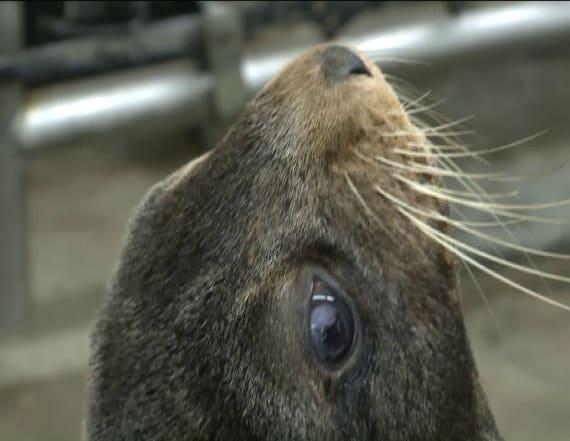 Seal found sick on beach to undergo surgery