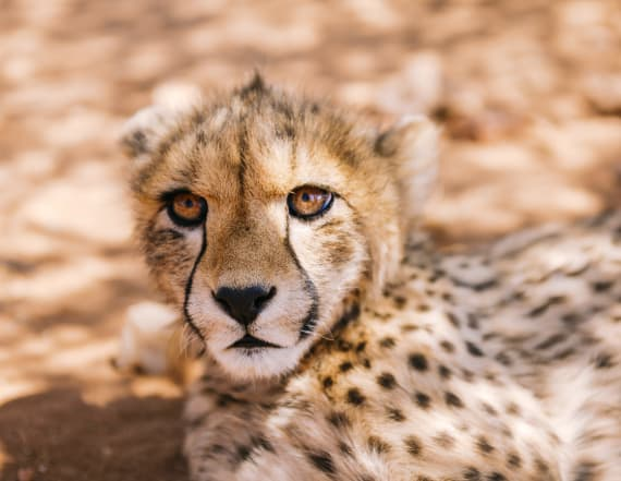 Cheetahs with 'support dogs' will make you smile