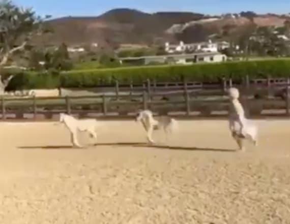 Lady Gaga has two new baby horses