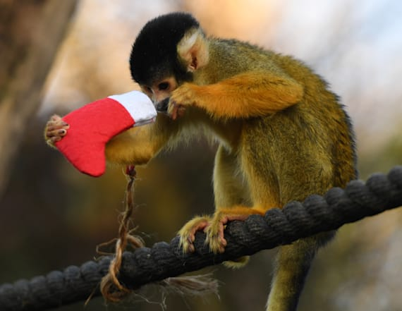Animals at London Zoo receive Christmas gifts