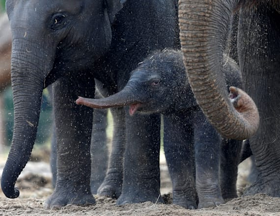 Zoo celebrates birth of male baby elephant