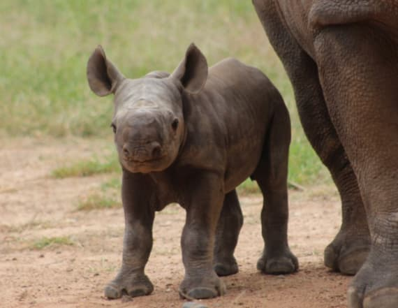 Precious baby rhino won't leave her mom's side