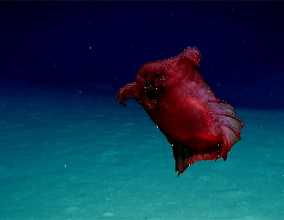 Rare 'headless chicken' sea creature spotted
