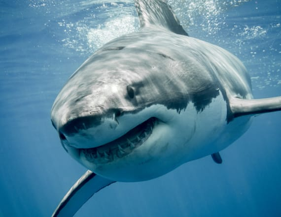 Divers have close encounter with massive white shark