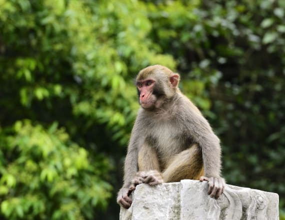 Monkeys steal coronavirus samples from lab