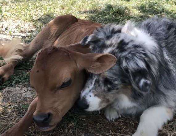 Dog and calf become the cutest duo