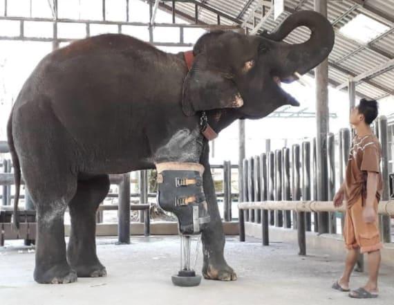 Mosha the elephant gets new prosthetic leg