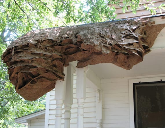Wasps are now building nests as large as a car