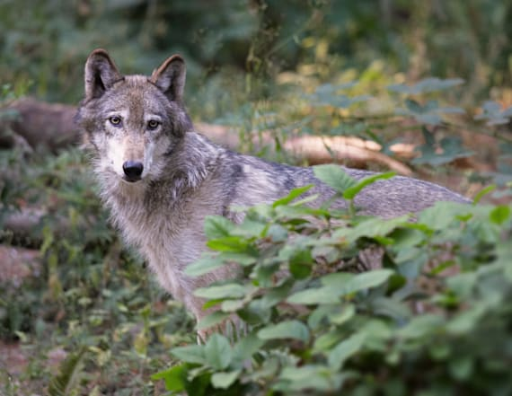 Last 4 wolves in pack killed by state hunters