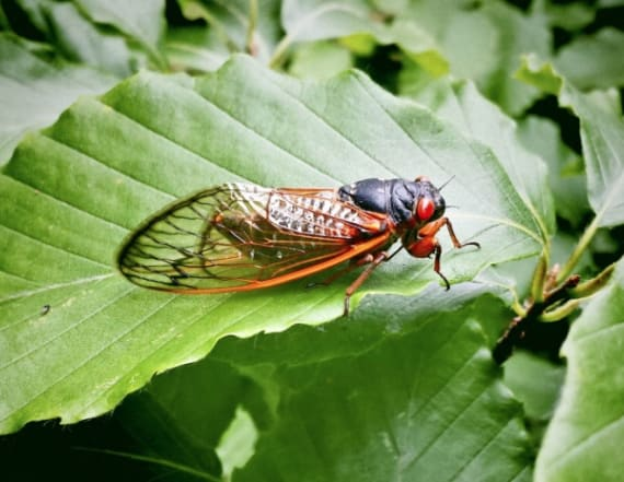 Cicadas will emerge in the South — by the millions