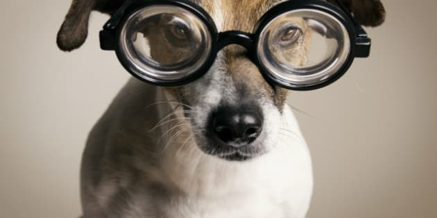 Serious Dog with Geek Glasses