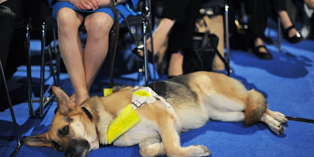 A guide dog is pictured during the Conservative Party Conference in Manchester, north-west England, on October 5, 2011. With the eurozone in crisis, the issue of Europe has returned to stalk Britain's governing Conservative party, despite Prime Minister David Cameron's efforts to keep it under wraps. Although the faltering economy has dominated this year's Tory conference in Manchester, northwest England, the debt crisis engulfing the European single currency has ensured that Britain's relationship with the EU is a hot topic. AFP PHOTO/Carl de Souza. (Photo credit should read CARL DE SOUZA/AFP/Getty Images)