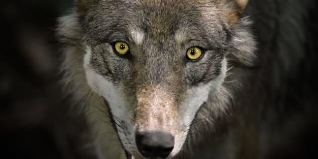 Beautiful Staring Gray Wolf