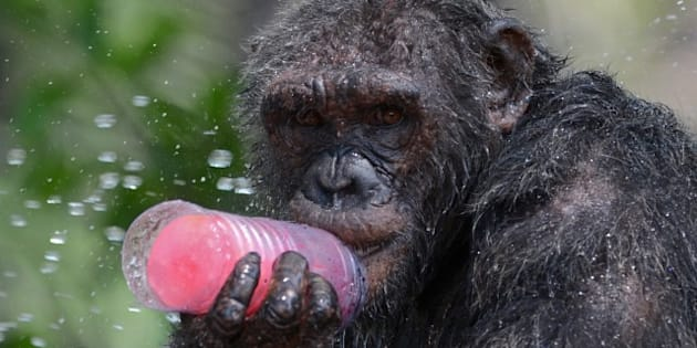 A chimpanzee licks a piece of ice during hot weather at Dusit Zoo in Bangkok on April 2, 2013. The Thai Meteorological Department forecasted temperatures between 38 to 40 degrees celsius. AFP PHOTO/PORNCHAI KITTIWONGSAKUL        (Photo credit should read PORNCHAI KITTIWONGSAKUL/AFP/Getty Images)